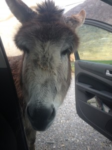 The donkey that covered for the horse who bite my car